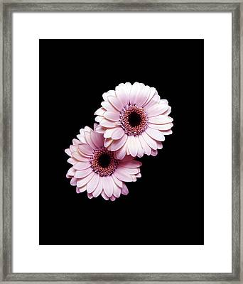Two Gerberas On Black Framed Print