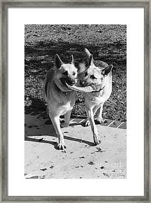 Two German Shepherds Share A Frisbee Framed Print