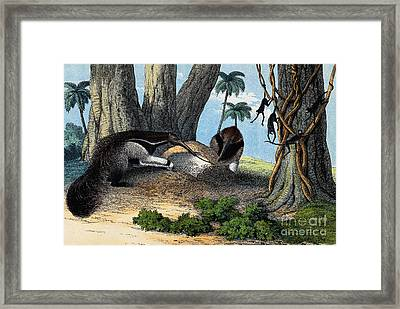 Two Giant Anteaters Feeding On Termites Framed Print by Wellcome Images