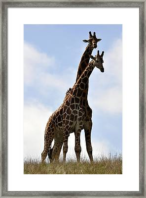 Two Giraffes A Love Story Framed Print