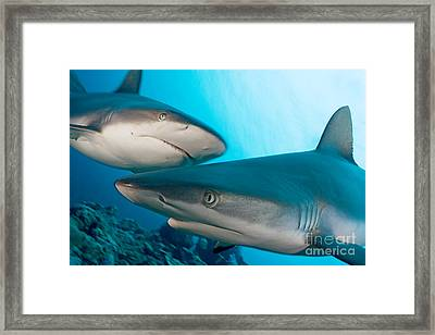 Two Gray Reef Sharks Framed Print