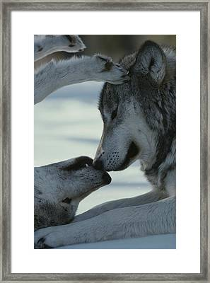 Two Gray Wolves, Canis Lupus, Touch Framed Print