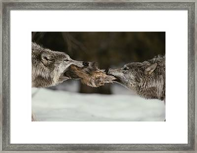 Two Gray Wolves, Canis Lupus, Tussle Framed Print