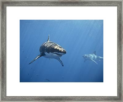 Two Great White Sharks Framed Print by Photo by George T Probst