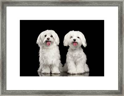 Two Happy White Maltese Dogs Sitting, Looking In Camera Isolated Framed Print