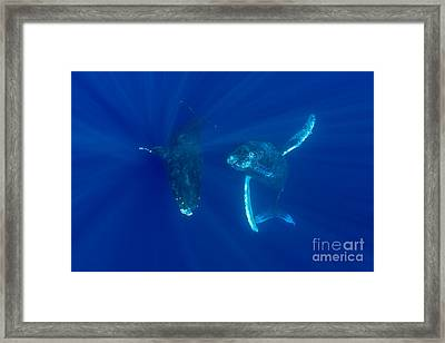 Two Humpback Whales Framed Print by Dave Fleetham - Printscapes
