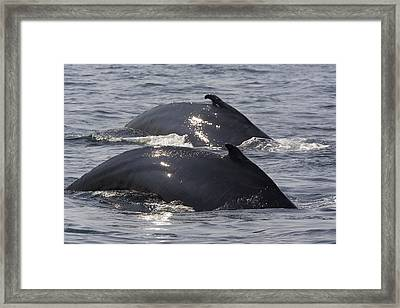 Two Humpback Whales Megaptera Framed Print