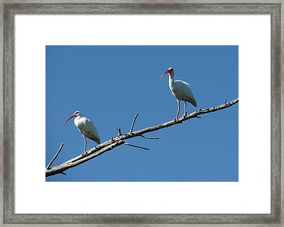 Two Ibis On Perch Framed Print