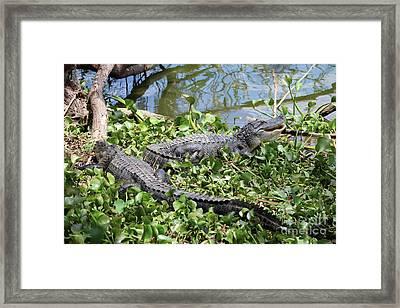Two Lakeside Gators Framed Print by Carol Groenen