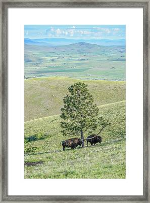 Two Large Bull Bison Standing Under A Pine Tree Framed Print