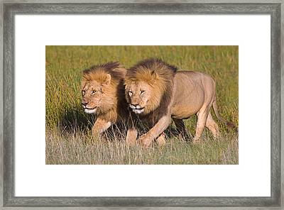 Two Lion Brothers Walking In A Forest Framed Print