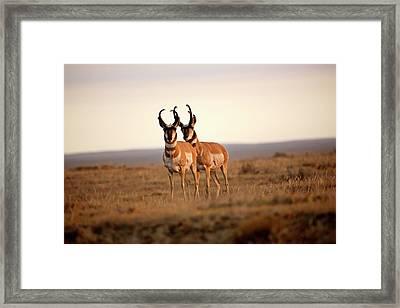 Two Male Pronghorn Antelopes In Alberta Framed Print