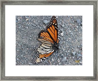 Two Monarchs Aflutter Framed Print