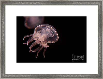 Two Moon Jellies Framed Print
