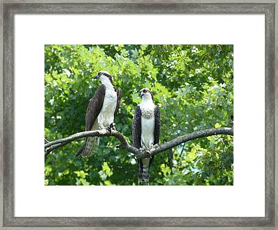 Two On A Limb - Osprey Framed Print by Donald C Morgan