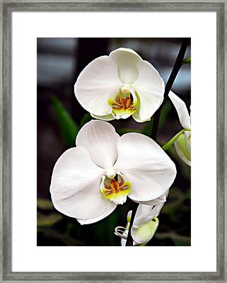 Framed Print featuring the photograph Two Orchids by JoAnn Lense