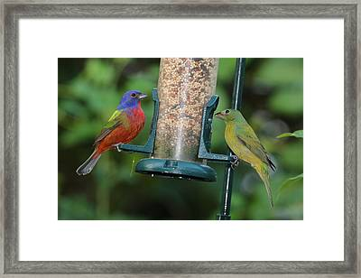 Two Painted Buntings Framed Print