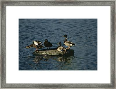 Two Pairs Of Mallards Balance Framed Print by Melissa Farlow