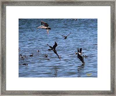 Two Pelicans Diving  Framed Print