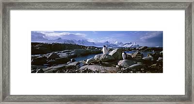 Two Penguins Standing On Rocks Framed Print
