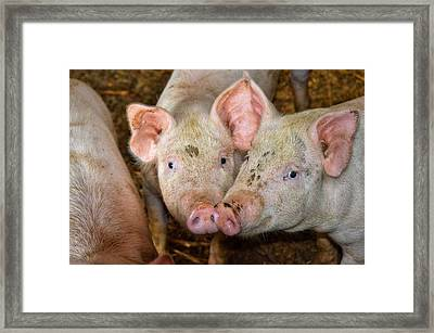 Two Pigs Framed Print
