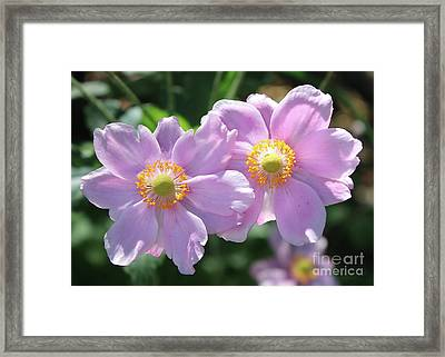 Two Pink Anemone Flowers Framed Print by Carol Groenen