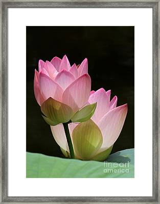 Two Pink Lotus Framed Print