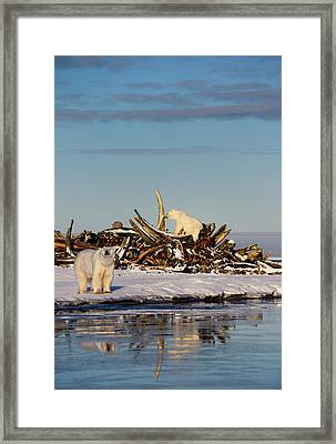 Two Polar Bears At The Whale Bone Pile On Barter Island With Ref Framed Print