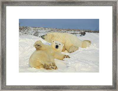 Two Polar Bears Lounging Framed Print