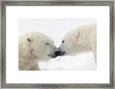 Two Polar Bears Ursus Maritimus Framed Print by Richard Wear