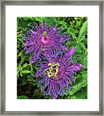 Two Purple Passion Flowers Framed Print