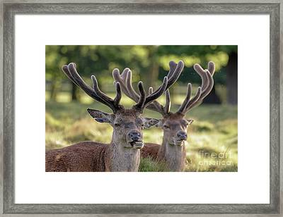 Framed Print featuring the photograph Two Red Deer Stags - Cervus Elaphus - Growing Velvet Antlers In Re by Paul Farnfield