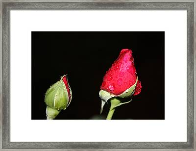 Two Red Rosebuds Framed Print by Paula Coley