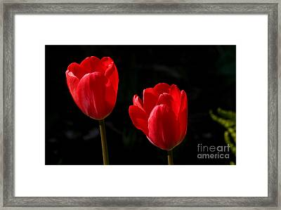 Two Red Tulips Framed Print