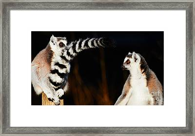 Two Ring-tailed Lemurs Framed Print by Nick Biemans