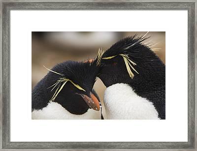 Two Rockhopper Penguins  Eudyptes Framed Print by Daisy Gilardini