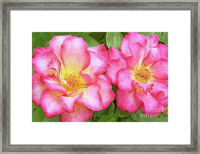 Two Roses-rainbow Sorbet Framed Print