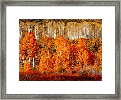 Two Rows Of Aspen Framed Print by Marcia Socolik