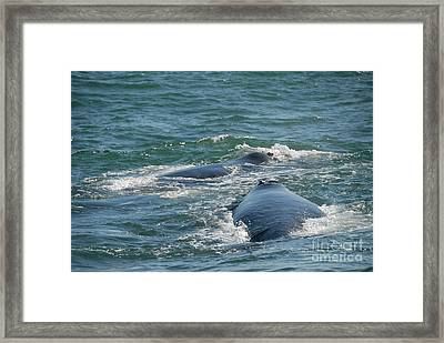 Two Southern Right Whale Breaching Framed Print by Sami Sarkis