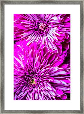 Two Spider Mums Framed Print
