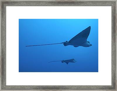 Two Swimming Spotted Eagle Rays Underwater Framed Print by Sami Sarkis