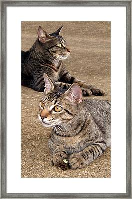 Two Tabby Cats Framed Print by Nicole I Hamilton