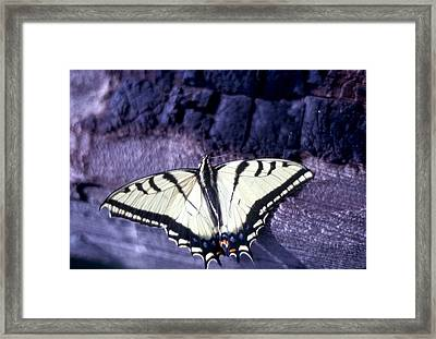 Two Tail Swallowtail Framed Print by Chris Gudger