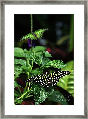 Two Tailed Jay Butterflies- Graphium Agamemnon Framed Print