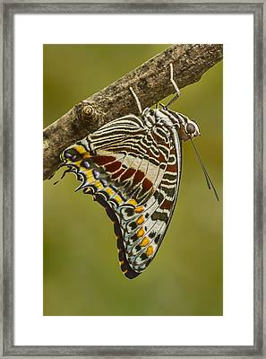 Two Tailed Pasha Butterfly Framed Print by Lindley Johnson