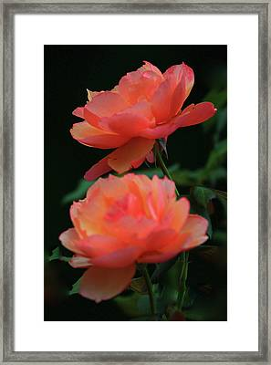 Two Tangerine Roses Framed Print