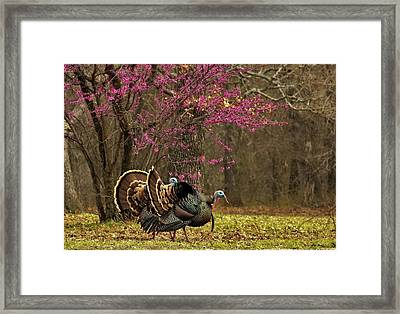 Two Tom Turkey And Redbud Tree Framed Print