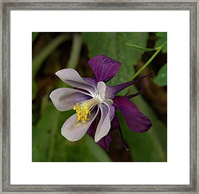 Framed Print featuring the photograph Two Toned Columbine by Jean Noren