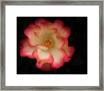 Two Toned Rose Framed Print by Jean Noren