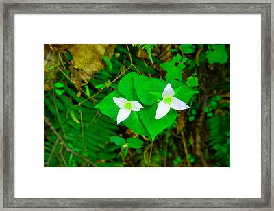 Two Trilliums  Framed Print by Jeff Swan